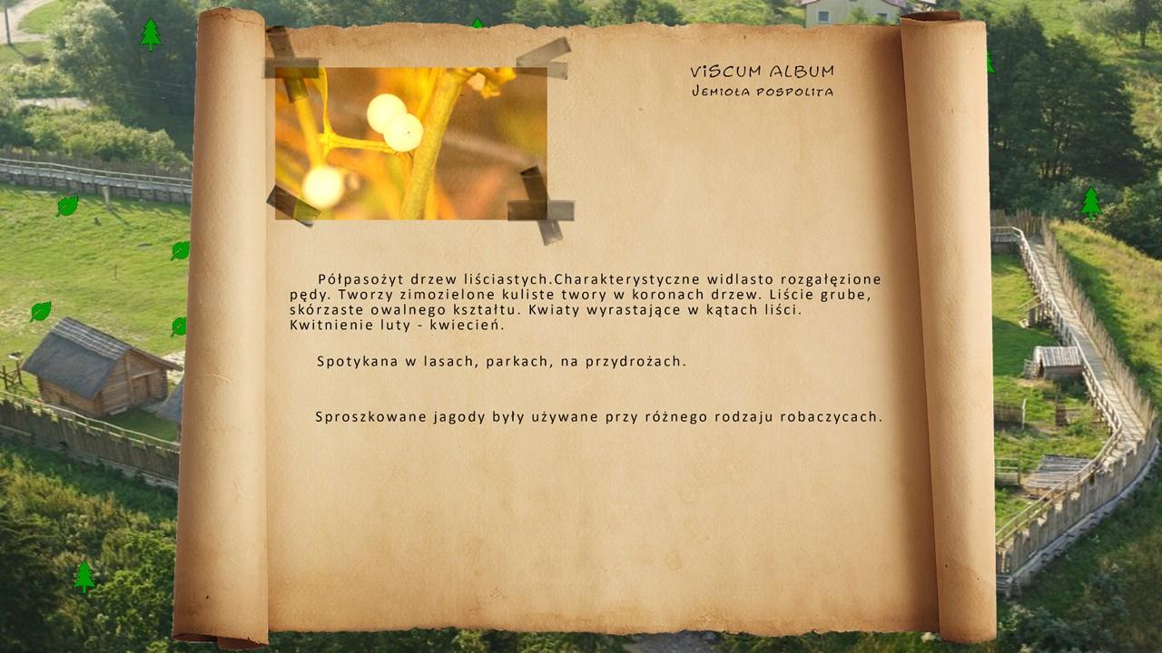 Kociewskie zioła - Jemioła pospolita