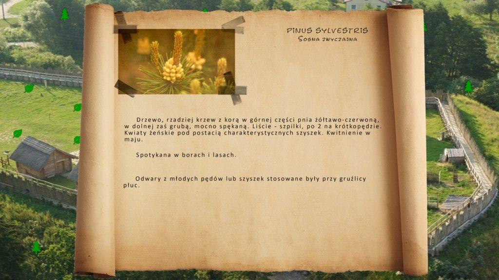 Kociewskie zioła - Sosna zwyczajna