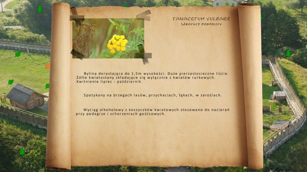 Kociewskie zioła - Wrotycz pospolity