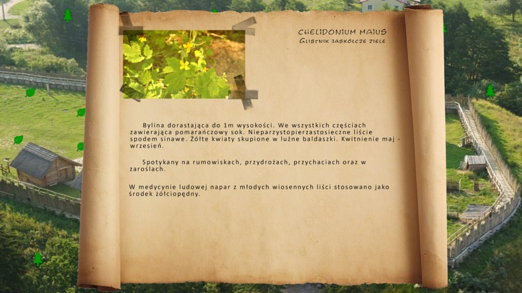 Kociewskie zioła - Glistnik jaskółcze ziele