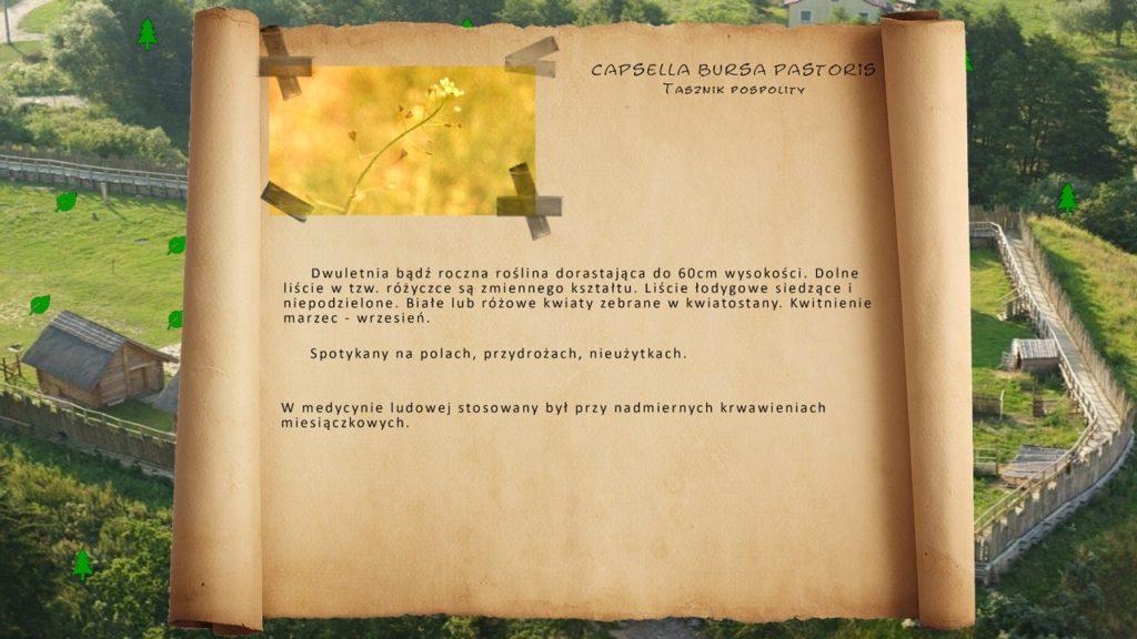 Kociewskie zioła - Tasznik pospolity