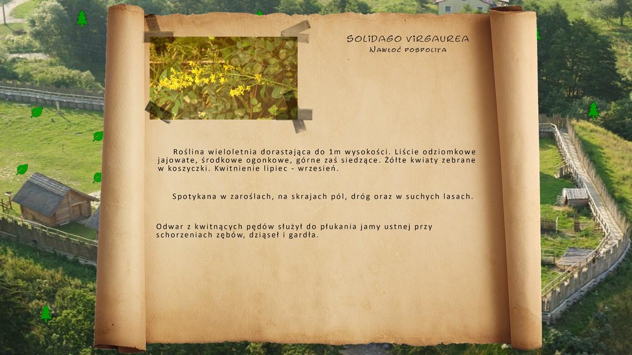 Kociewskie zioła - Nawłoć pospolita