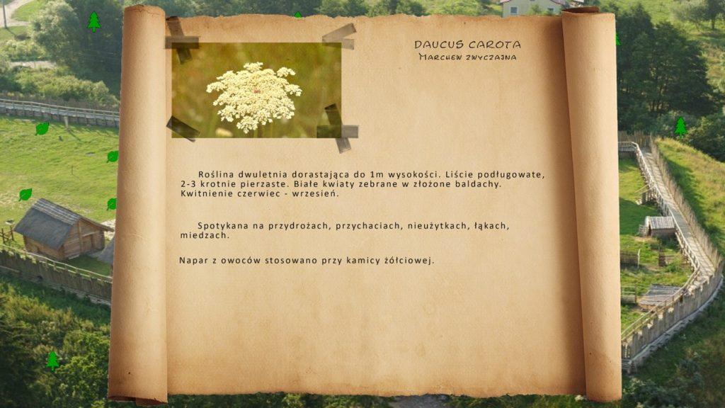 Kociewskie zioła - Marchew zwyczajna
