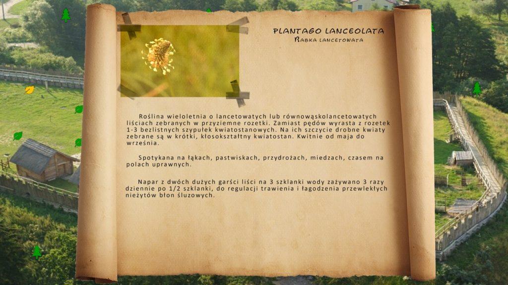 Kociewskie zioła - Babka lancetowata