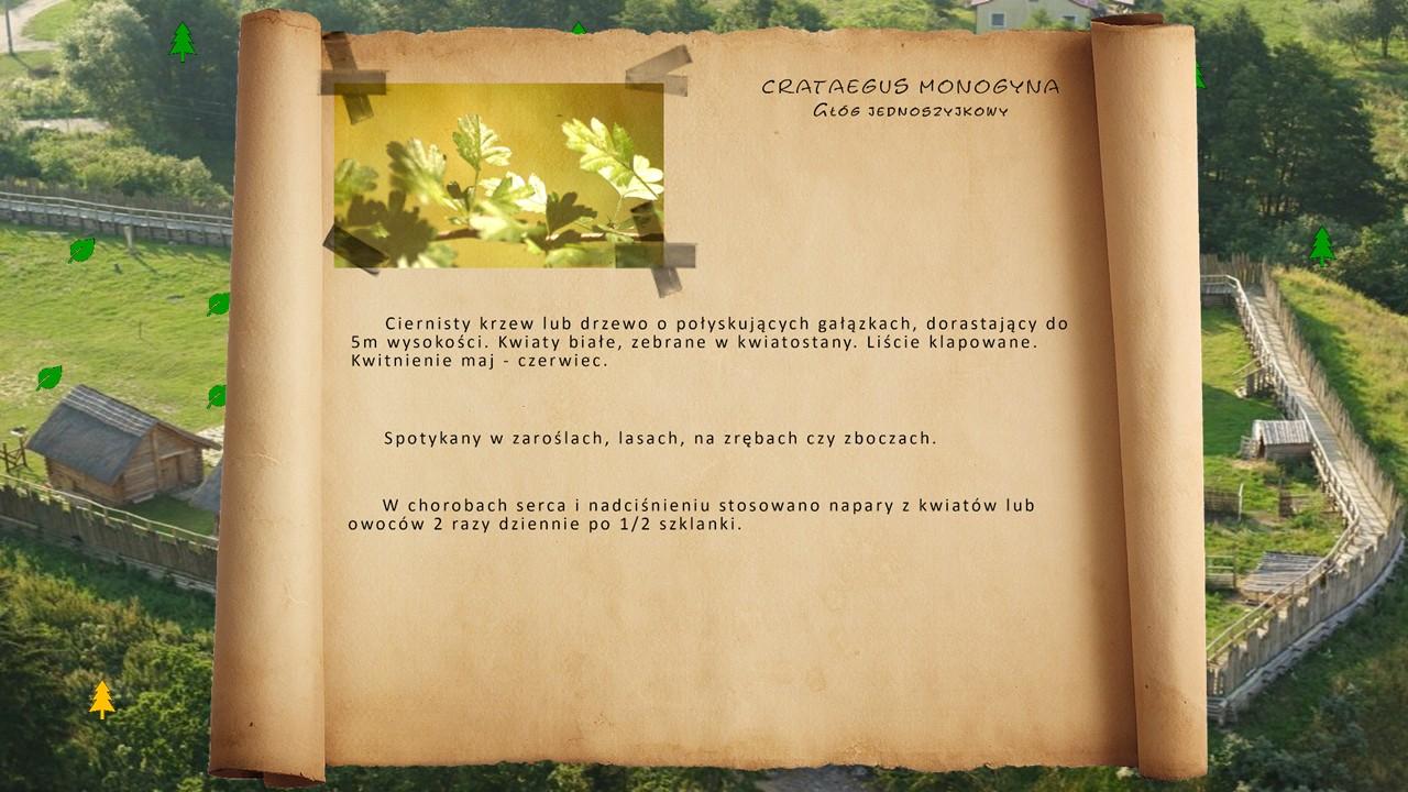 Kociewskie zioła - Głóg jednoszyjkowy